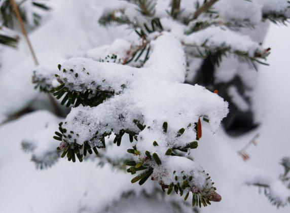 Korean fir