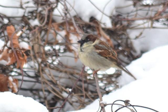 Male sparrow