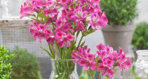 Alstroemeria Majestic Montsoreau. Picture; Woolmans