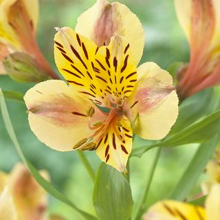 Alstroemeria Layon. Picture; Woolmans