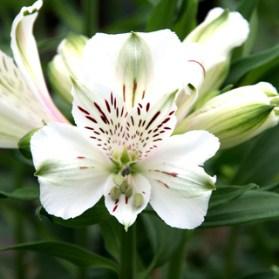 Alstroemeria Mazé. Picture; Woolmans