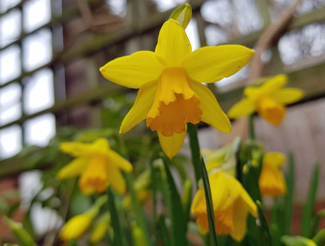 Daffodil Tete a Tete flowering date - March 13, 2018