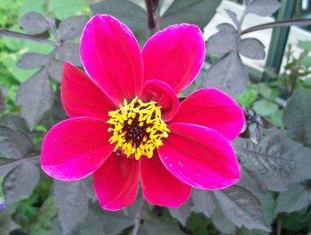 Dahlia Bishops Children - pink