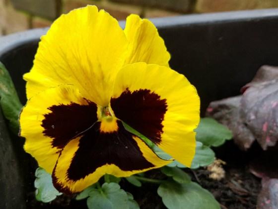 Stalwart yellow pansy