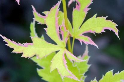 Burncoose Nurseries' Acer palmatum Metamorphosa. Picture; RHS