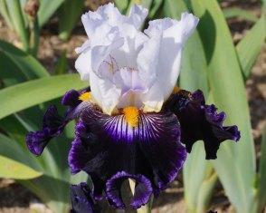 Cayeux Iris' Iris As de Pique. Picture; RHS