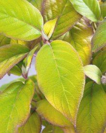 Hillier Nurseries Hydrangea aspera Gold Rush. Picture; RHS