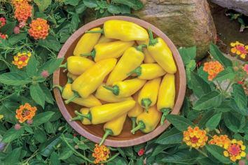 Pennard Plants' pepper Lemon Dream. Picture; RHS