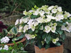 The Sun Newspaper's Hydrangea Runaway Bride Snow White. Picture; RHS