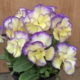 Victorian Violas Viola Bridie. Picture; RHS