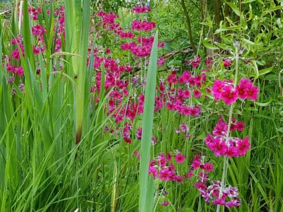 Candelabra primulas by the pond