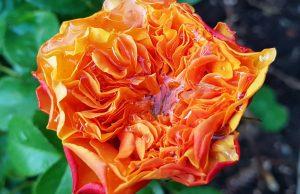 Rose Leah Tutu