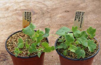 Seasol's delphinium seeds trial
