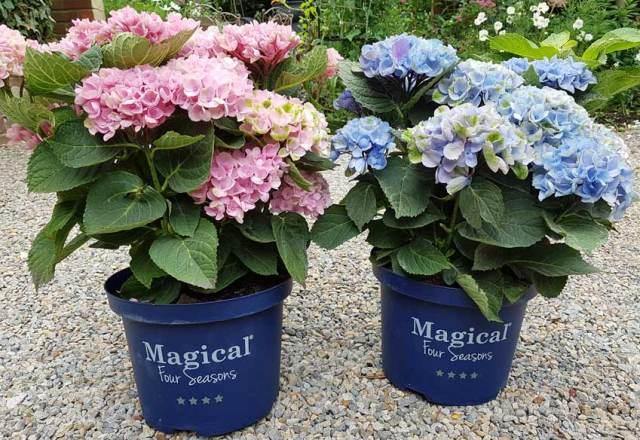 Magical Four Seasons Hydrangeas