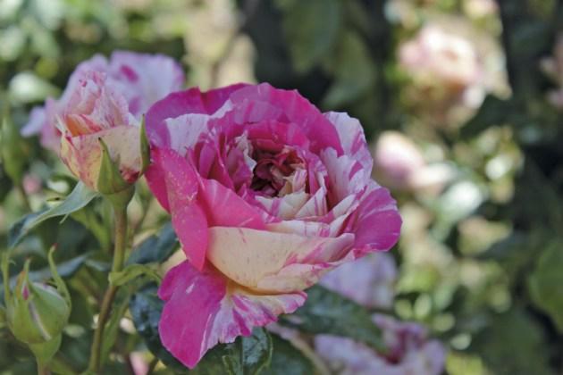 Climbing rose Claude Monet. Picture; Woolmans