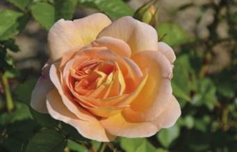 Rose Amelie Nothomb. Picture; Woolmans