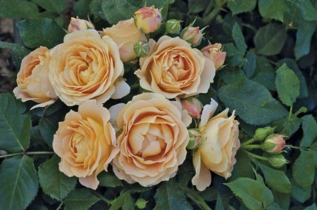 Rose Dolce Vita. Picture; Woolmans