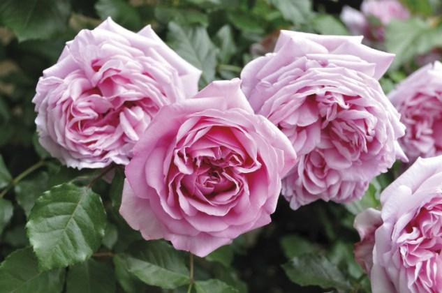 Rose Pompadour. Picture; Woolmans
