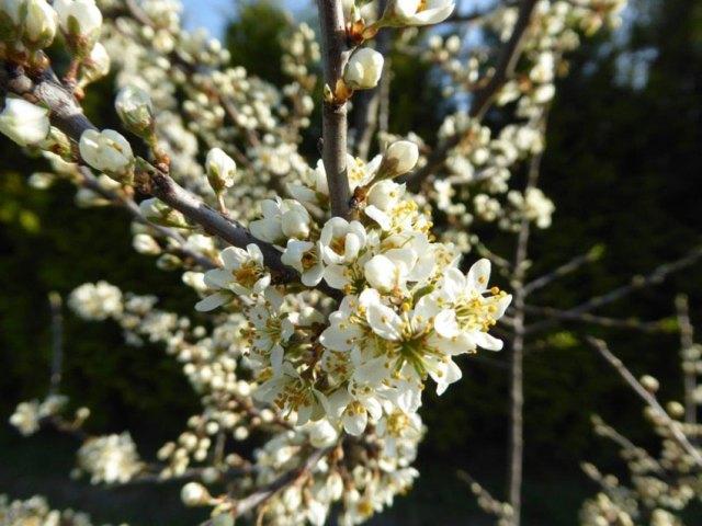 Blackthorn flowers. Picture; Lubera