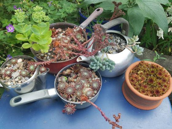 Sempervivum, Sedum and Echeveria