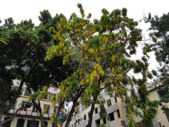 Huge flowering trees, Funchal Municipal Garden