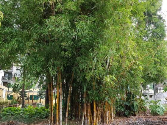 Massive clump of yellow bamboo, Funchal Municipal Garden