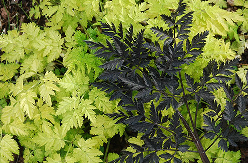 Anthriscus Golden Fleece and Ravenswing - FREE with any Plant World Seeds order