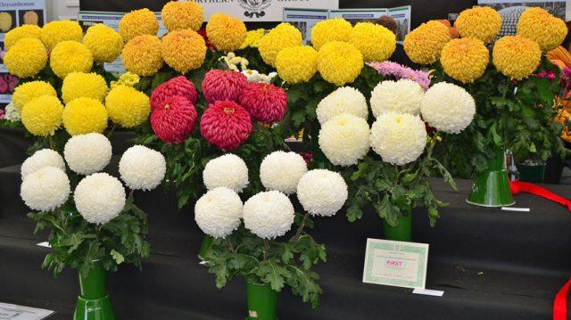 Best vase chrysanthemums