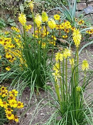 Yellow dwarf Kniphofia, Birmingham Botanical Gardens