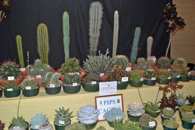 Pips Cactus