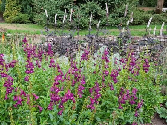 Purple Penstemon, Birmingham Botanical Gardens