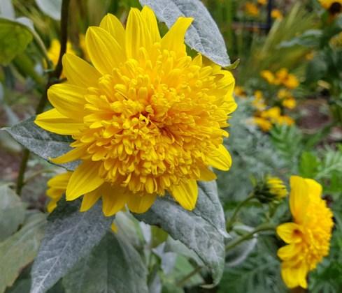 Sunflower Double Whammy, Birmingham Botanical Gardens