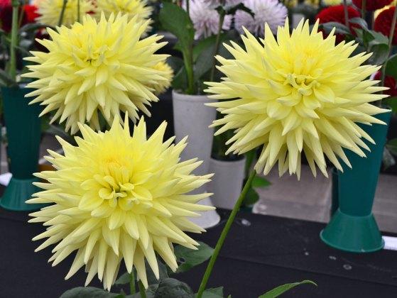 Yellow cactus dahlias