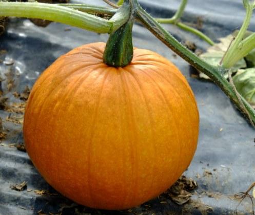 Pumpkin Triple Treat. Picture; Seaspring Seeds