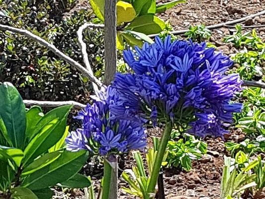 Ubiquitous blue Agapanthus