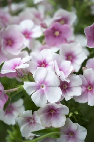 Phlox drummondii Blushing Bride. Picture; Chiltern Seeds