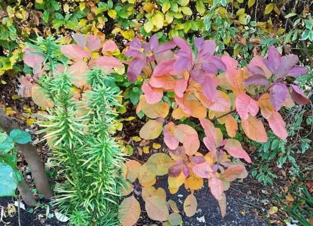 Time to split up Yew Cephalotaxus harringtonia Korean Gold and Cotinus (smoke bush)