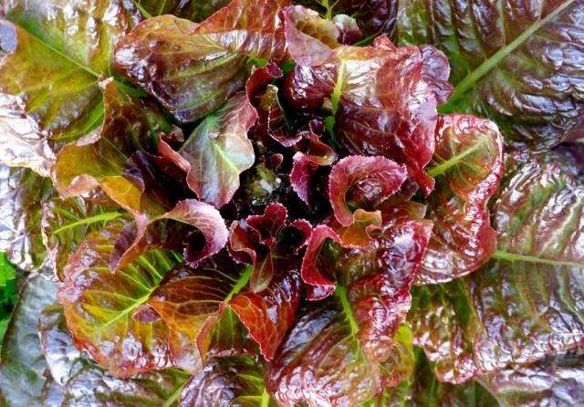 Lettuce Outredgeous. Picture; Suttons