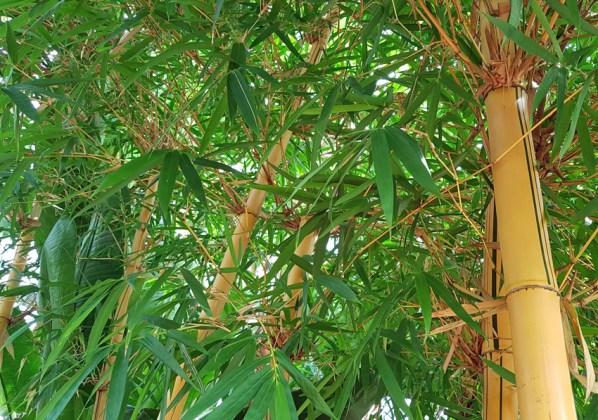 Bambusa vulgaris vittata, painted bamboo