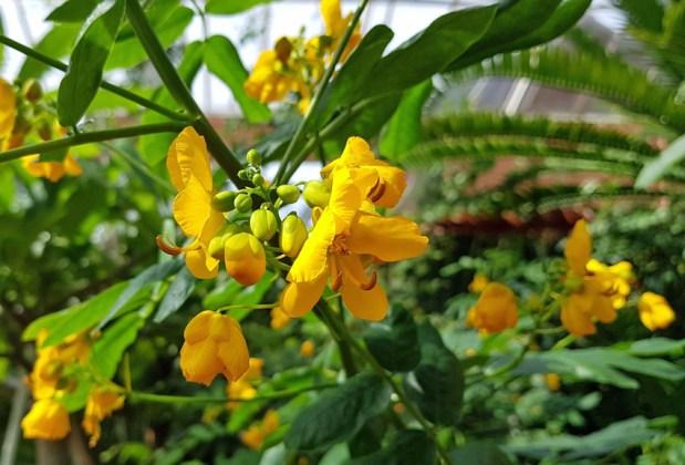 The highly useful medicinal Senna corymbosa