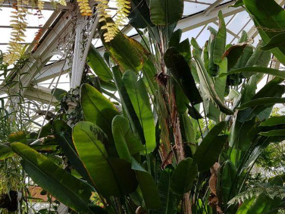 Strelizia alba, giant bird of paradise flower