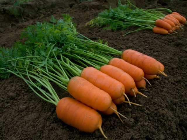 Carrot Aron F1. Picture; Kings Seeds