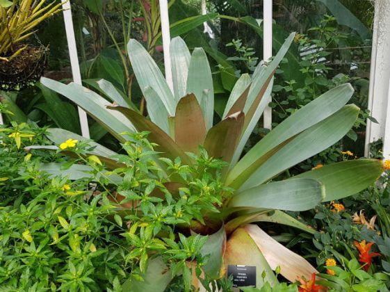 Huge bromeliad Vriesea imperialis rubra