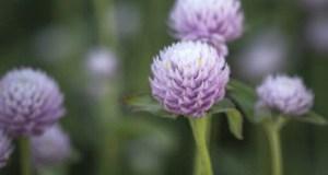 Gomphrena globosa Rose. Picture; Chiltern Seeds