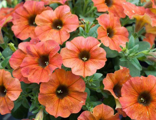 Super Petunia Cinnamon. Picture; Suttons