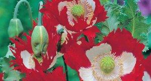 Poppy Victoria Cross. Picture; Mr Fothergill's