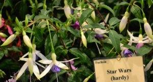 Potash Nursery's Fuchsia Star Wars