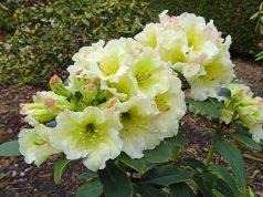 Rhododendron Jessica de Rothschild. Picture; David Millais