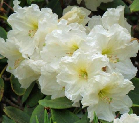 Rhododendron Olivia. Picture; Millais Nurseries
