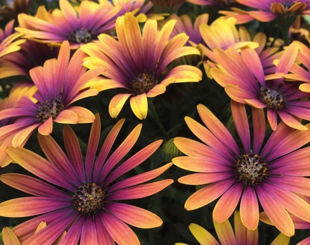 Osteospermum Purple Sun. Picture; T&M